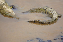 Crocodile au riverbank Photographie stock