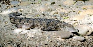 Crocodile australien 3 Photo libre de droits