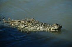Crocodile australien d'eau de mer dans l'eau photos stock