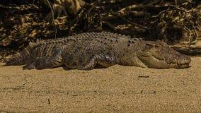 Crocodile australien d'eau salée images libres de droits