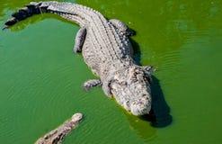 Crocodile avec l'enfant 4 Images libres de droits