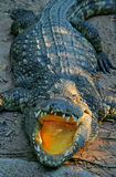 Crocodile avec la bouche ouverte Photo stock