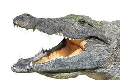 Crocodile avec la bouche ouverte d'isolement sur le blanc Photographie stock libre de droits