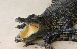 Crocodile avec la bouche ouverte, souriant Photo libre de droits