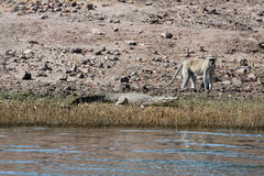 crocodile and baboon Royalty Free Stock Images