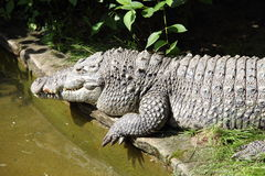 Crocodile. On the banks of the river Stock Photos