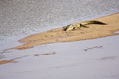 Crocodile basking Royalty Free Stock Photos