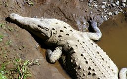 Crocodile Basking Royalty Free Stock Image