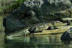 Crocodile basking Stock Photo