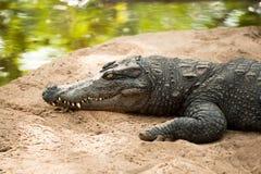 Crocodile basking in the sun Royalty Free Stock Photography