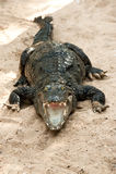 Crocodile basking in the sun Stock Photo