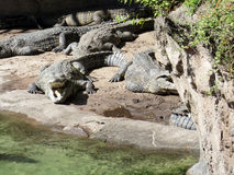 Crocodile basking in the sun Royalty Free Stock Images
