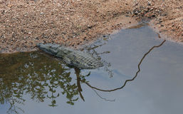 Crocodile basking in the sun at Kruger National Park Stock Images