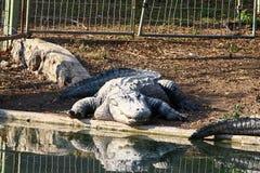 Crocodile basking in the sun Stock Photos