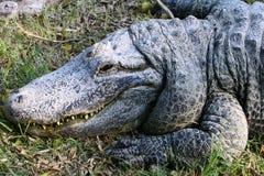 Crocodile basking in the sun Stock Image