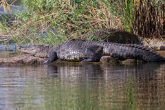 Crocodile basking in sun. By riverbank Royalty Free Stock Photography