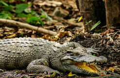 A crocodile basking in the sun. A crocodile or subfamily crocodylinae basking in the sunlight while camouflaging in the thick layer of dried leaves and Royalty Free Stock Image
