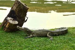 Crocodile. Crocodile basking in the sun at the zoo Stock Images