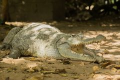 A crocodile basks in the heat of Gambia, West Africa Royalty Free Stock Photography