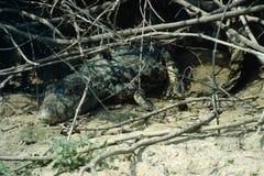 Crocodile - bassin d'Amazone Images libres de droits