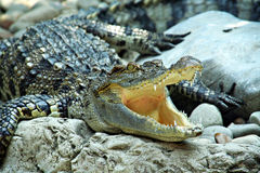 Crocodile being open-mouthed Stock Image