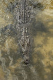 Crocodile Below. Overhead photo of crocodile as it wades in lagoon with its body submerged and eyes just above the water line at Punta Sur ecological park in stock photography
