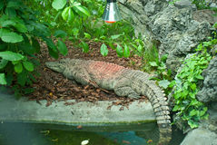 Crocodile. The big beautiful alligator is heated under a lamp Royalty Free Stock Photography