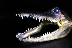 Crocodile on a black background Stock Photography