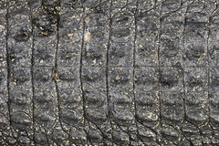 Crocodile black skin texture Royalty Free Stock Image