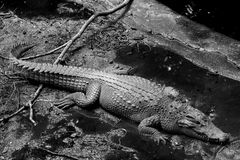 Crocodile in black and withe photography Stock Photography