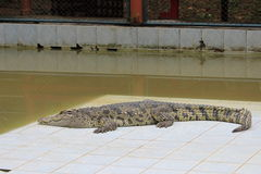Crocodile body in the pool. Horizontal image Stock Photography