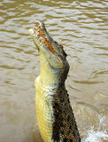 Crocodile branchant images libres de droits