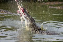 Crocodile breaching water to catch prey Royalty Free Stock Image