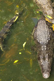 Crocodile breeding farm in Siem Reap, Cambodia Stock Image