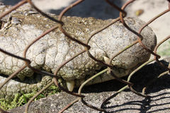 Crocodile in the cage. Royalty Free Stock Photography