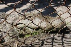 Crocodile in the cage. Stock Photo