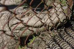 Crocodile in the cage. Stock Image