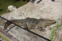 Crocodile in the cage. Royalty Free Stock Images