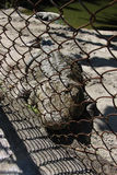 Crocodile in the cage. Stock Images