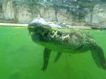 Crocodile. Canine crocodile allegator stock images
