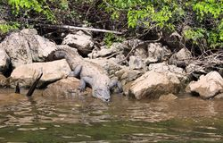 Crocodile in Canyon del Sumidero, Chiapas, Mexico. Crocodile get down into the water of Grijalva river Rio Grijalva inside Sumidero Canyon Canyon del Sumidero royalty free stock images