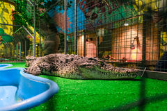 Crocodile in captivity. Camper crocodile. The terrarium reptiles. Exotic animal in a cage. Large and dangerous reptile Stock Images