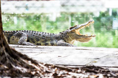Crocodile in Captivity Stock Photography