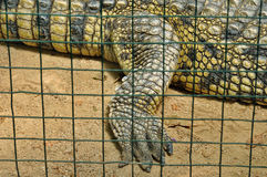 Crocodile in captivity. Nile crocodile claws and skin detail of dangerous reptile in captivity. Wild animal Royalty Free Stock Photography