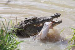 Crocodile Catching Fish Royalty Free Stock Photo