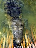 Crocodile Cayman In Lake Central America Stock Images