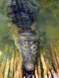 Crocodile Cayman In Lake Central America