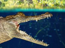 Crocodile cayman swimming in mangrove swamp Royalty Free Stock Photo