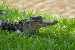 Crocodile Checking out Surroundings royalty free stock photo