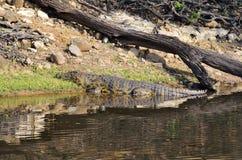 Crocodile in Chobe National Park, Botswana Royalty Free Stock Photos